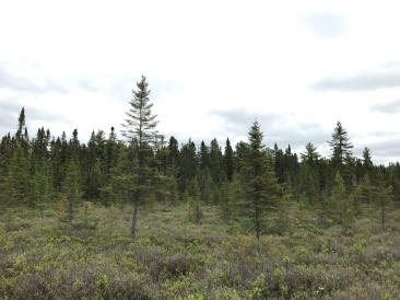 These better be Spruce trees, otherwise this bog is full of lies.