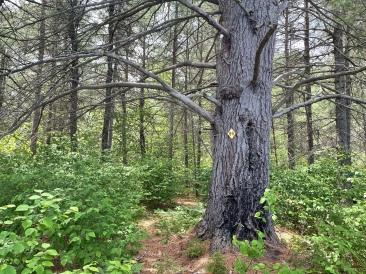 The Thunderbox pathway Guardian Tree